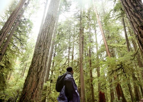A student looks up at the forest canopy in Olympic National Park